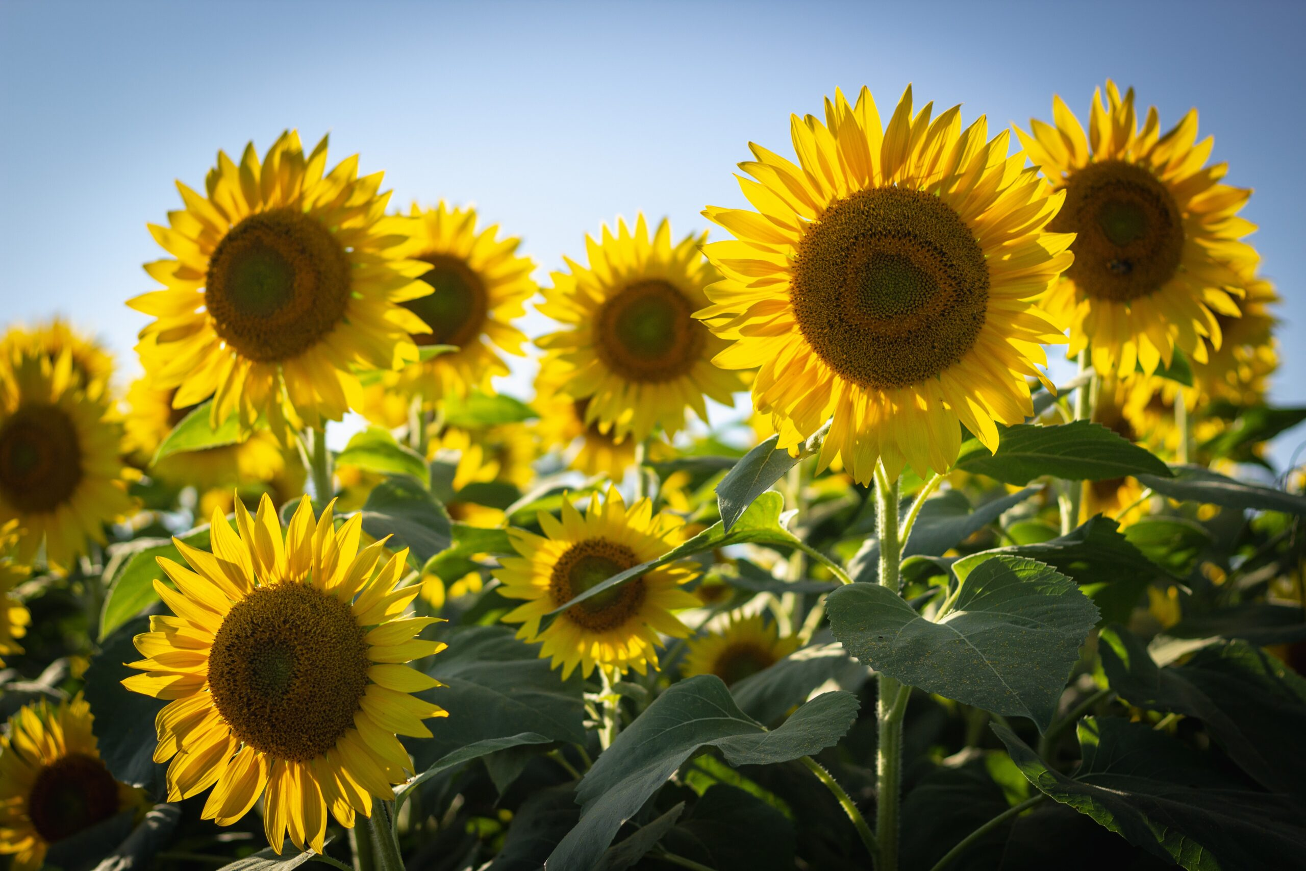 Tournesol Sunflowers